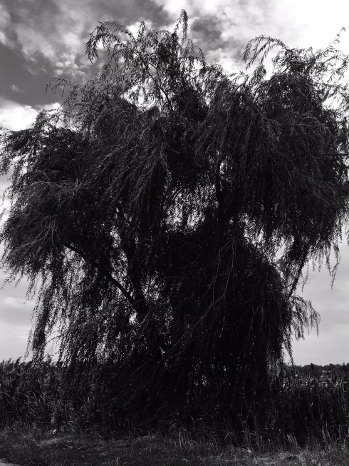 weeping-willow3
